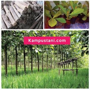 investasi pohon jati