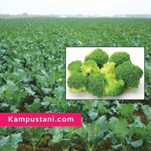 budidaya brokoli