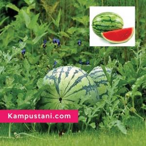 budidaya semangka
