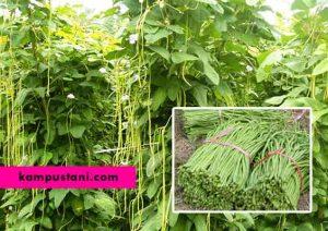 cara menanam kacang panjang