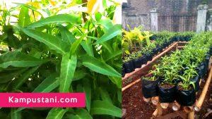 cara menanam kangkung di polybag