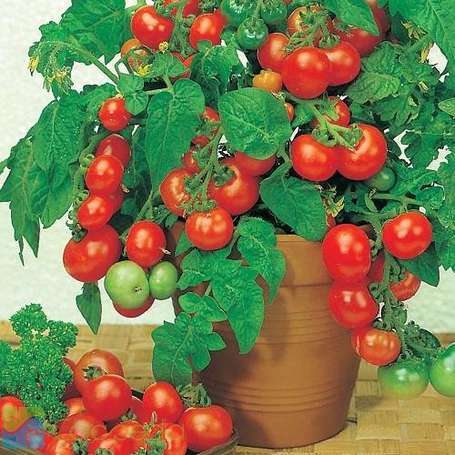budidaya tomat-didalam polybag