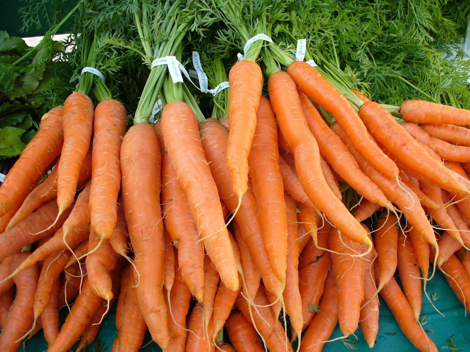 budidaya wortel