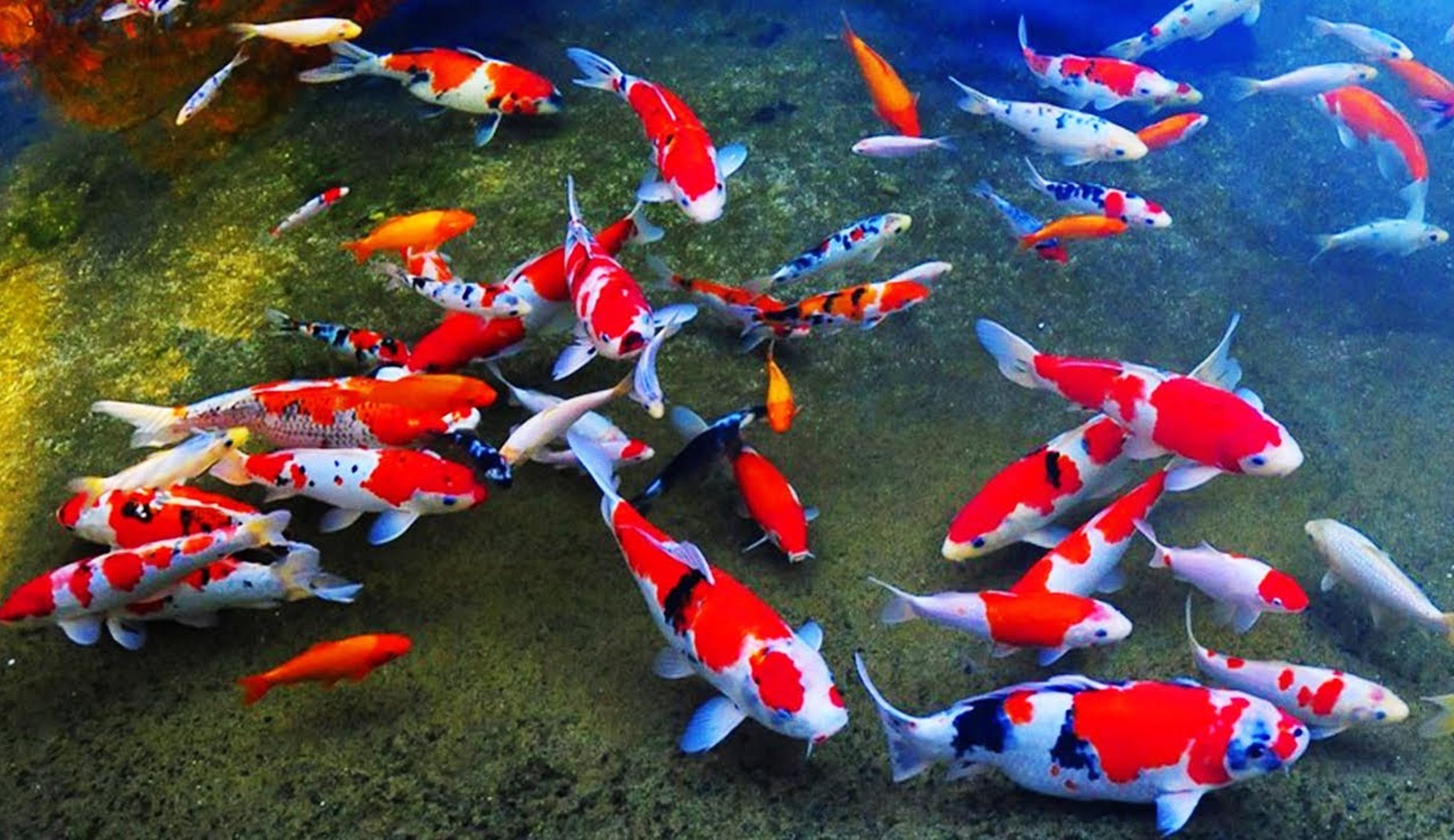 Cara Budidaya Ikan Koi Bagi Pemula Kampustani Com