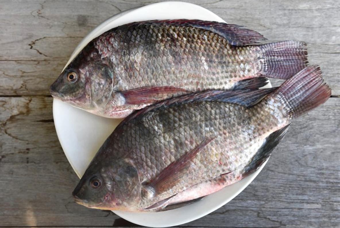 Cara Budidaya Ikan Mujair Di Kolam Terpal   KampusTani.Com