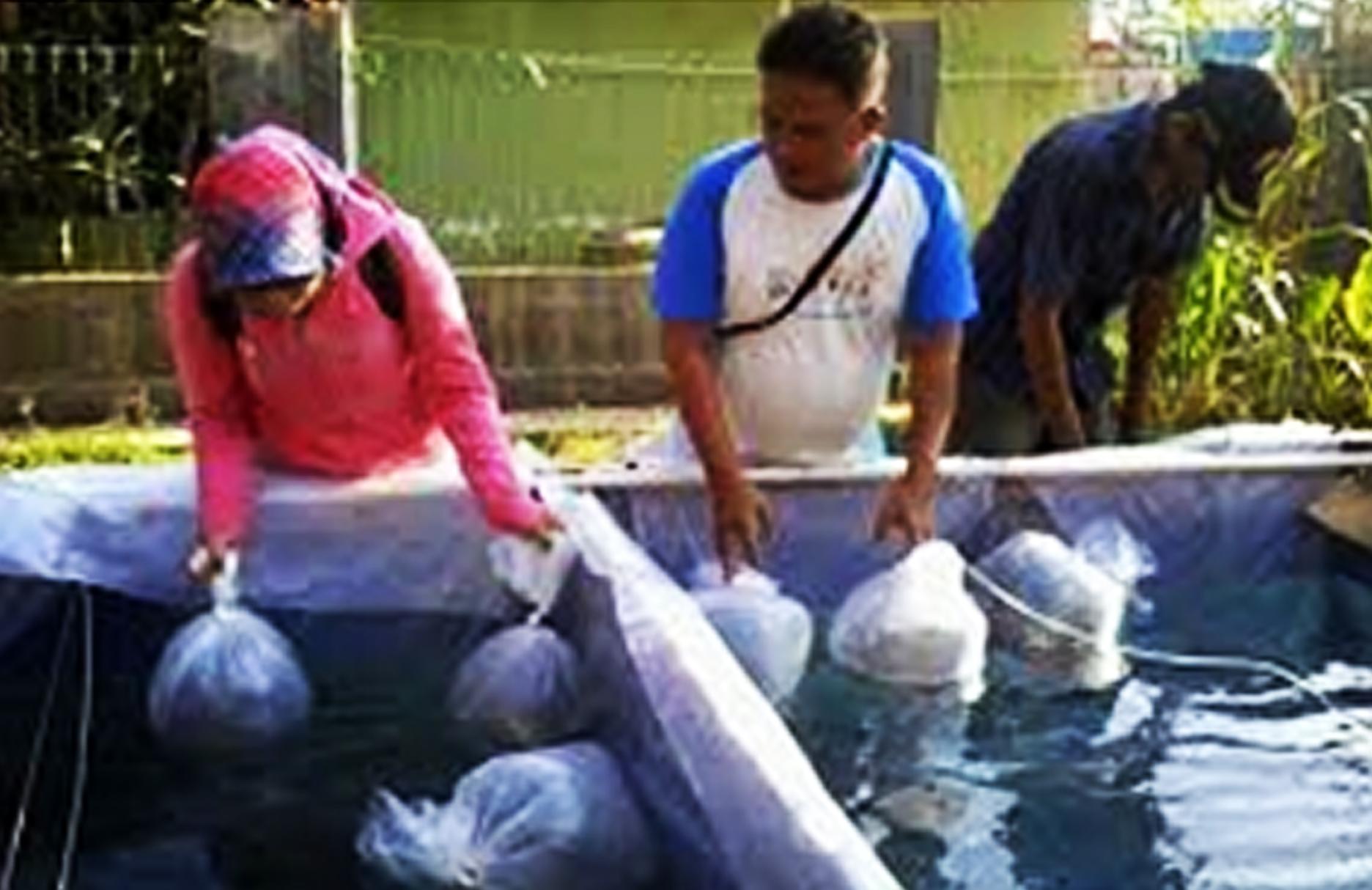 Cara Budidaya Ikan Patin Di Kolam Terpal Bagi Pemula ...