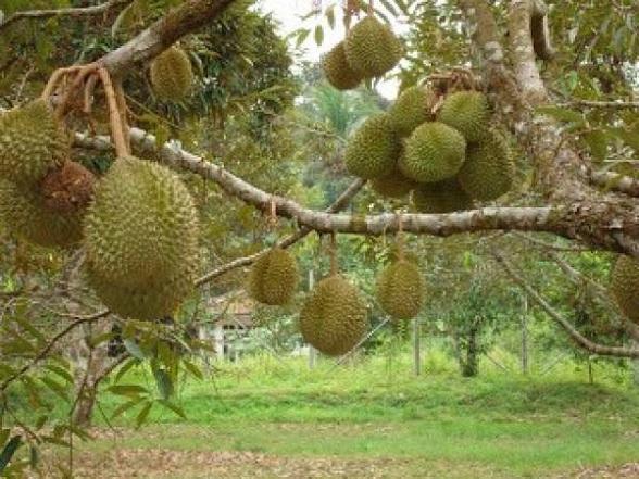 Rahasia Pohon Buah Durian Cepat Berbuah