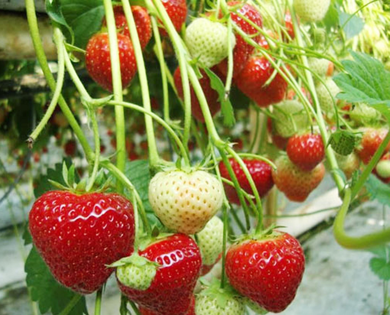 Cara Agar Tanaman Strawberry Berbuah Besar Kampustani Com