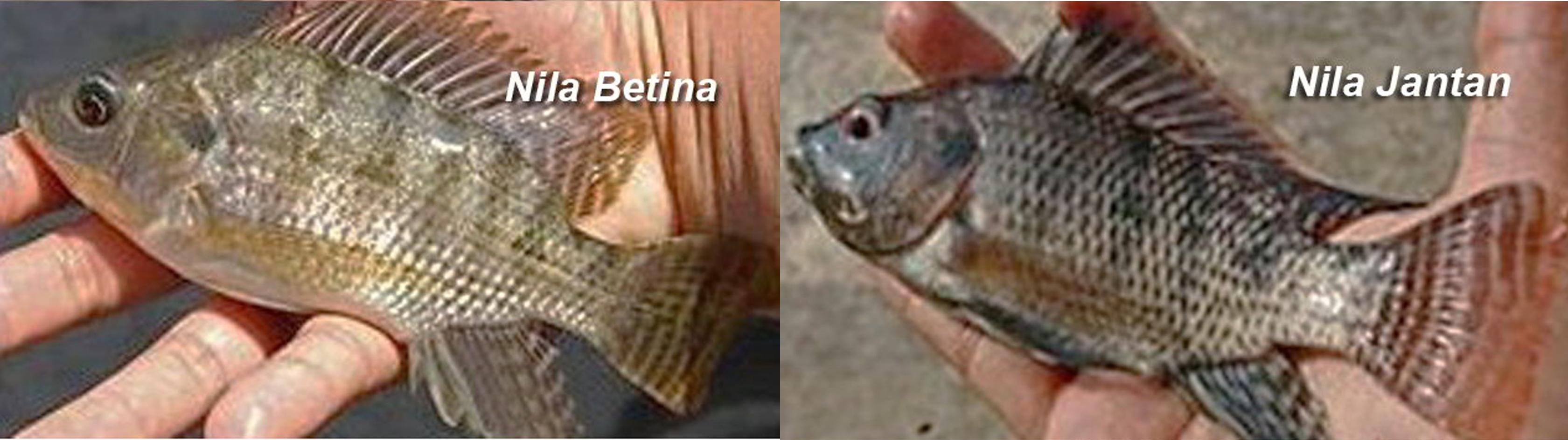 Cara Budidaya Ikan Nila Bagi Pemula Kampustani Com