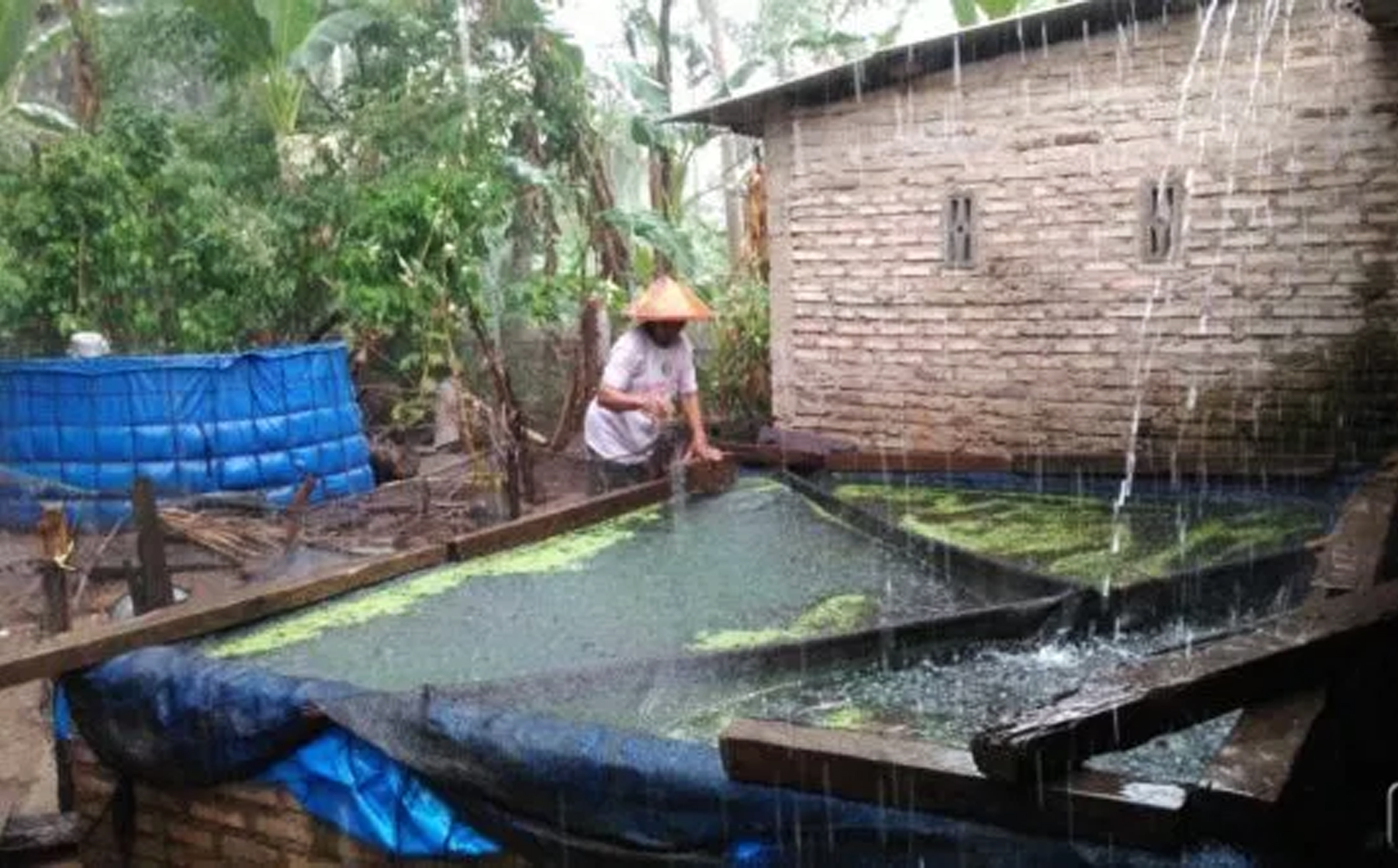 Dampak Air Hujan Bagi Ikan Lele Dan Cara Mengatasinya Kampustani Com