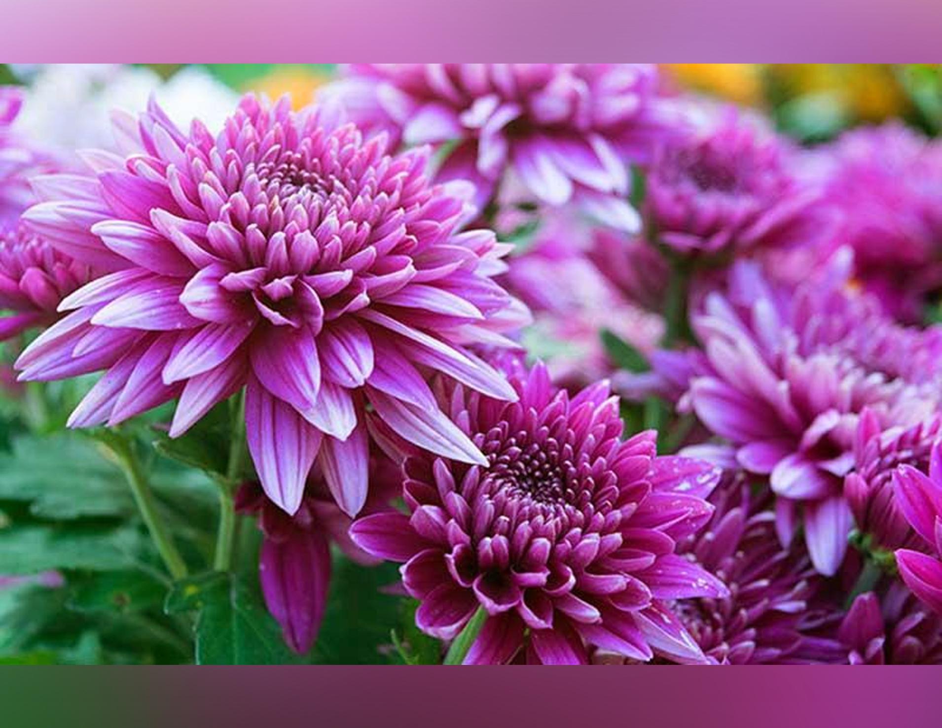Download 99 Koleksi Gambar Bunga Seruni HD Gratid Gambar Bunga