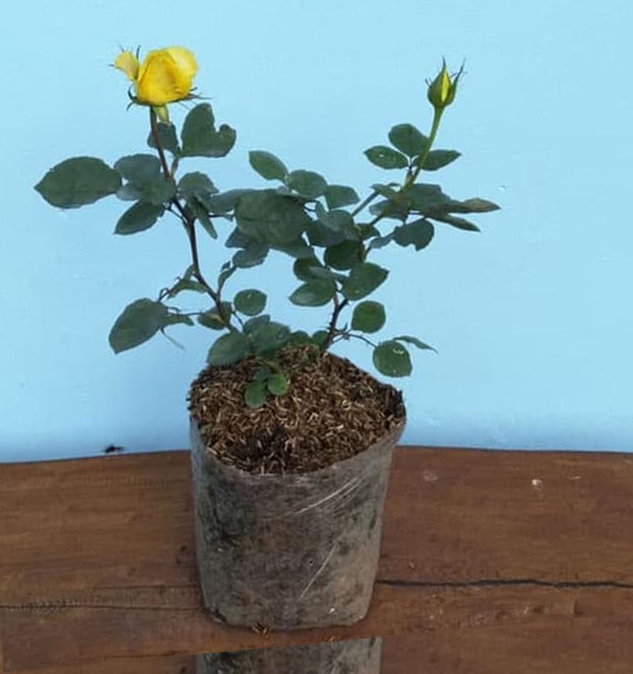 Penanganan Bibit Bunga Mawar Pasca Pembelian Online Kampustani Com