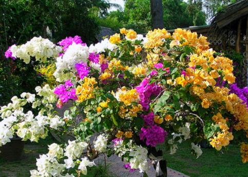 Sambung Pucuk Bunga Kertas Kampustani Com
